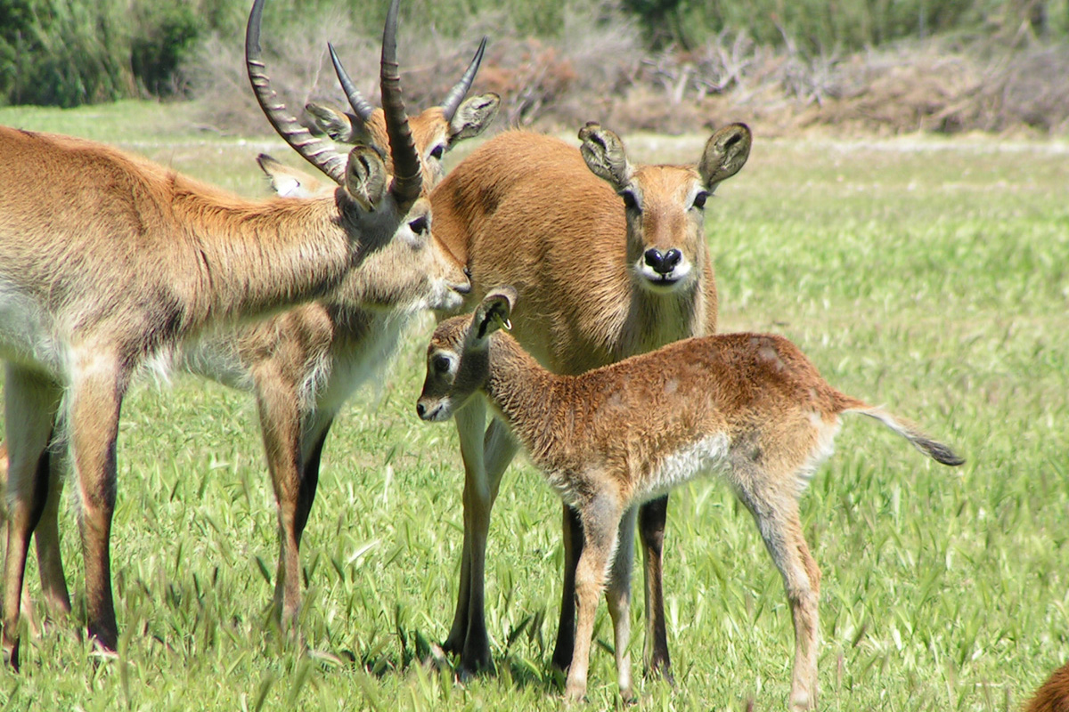 Lechwe born at the Réserve Africaine de Sigean