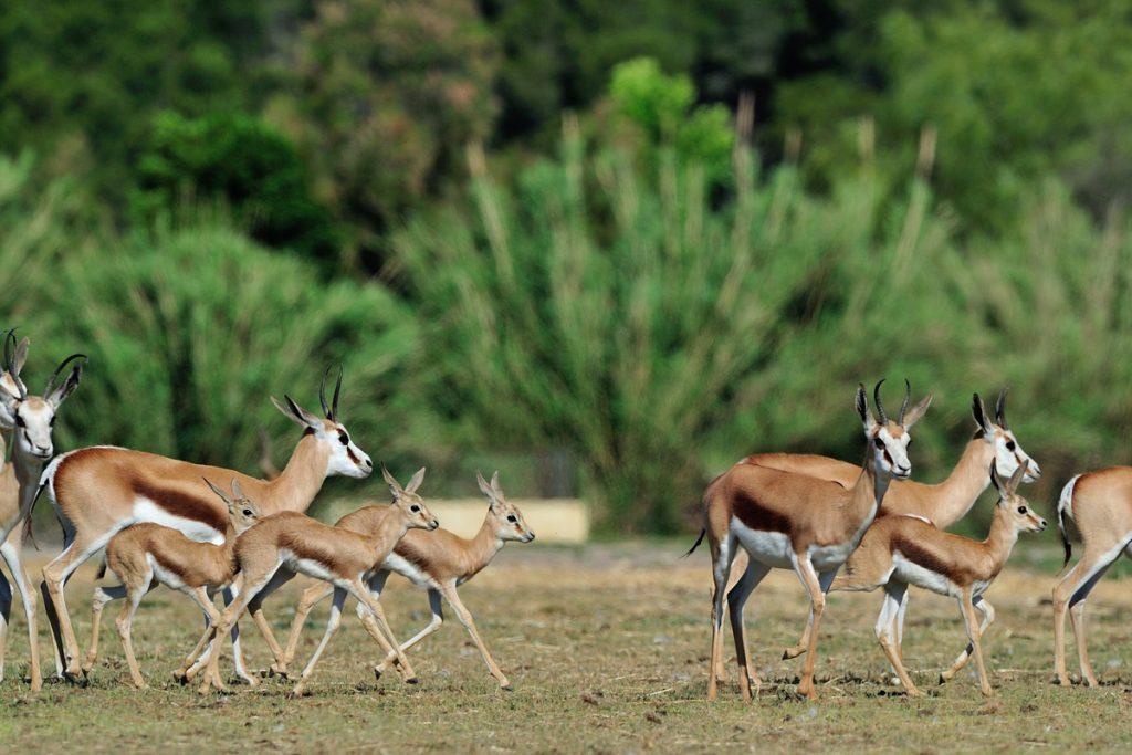 Springboks nés à la Réserve Africaine de Sigean