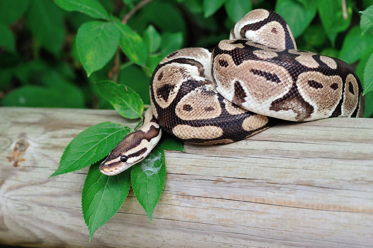 Python royal à la Réserve Africaine de Sigean