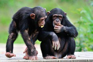Jeunes chimpanzés à la Réserve Africaine de Sigean