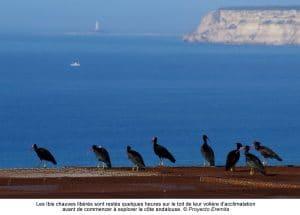 Ibis eremita en Andalousie
