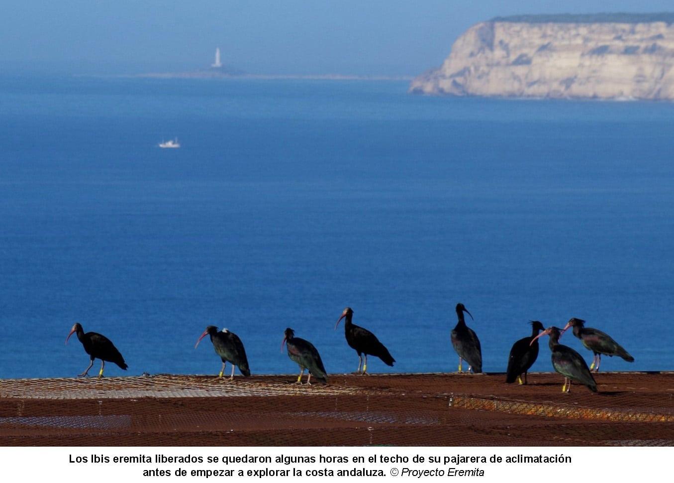 Ibis eremita en Andalucía