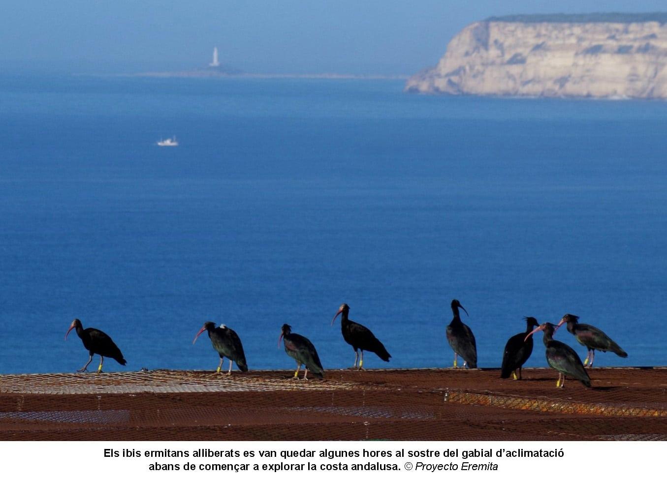 Ibis ermitans a Andalusia