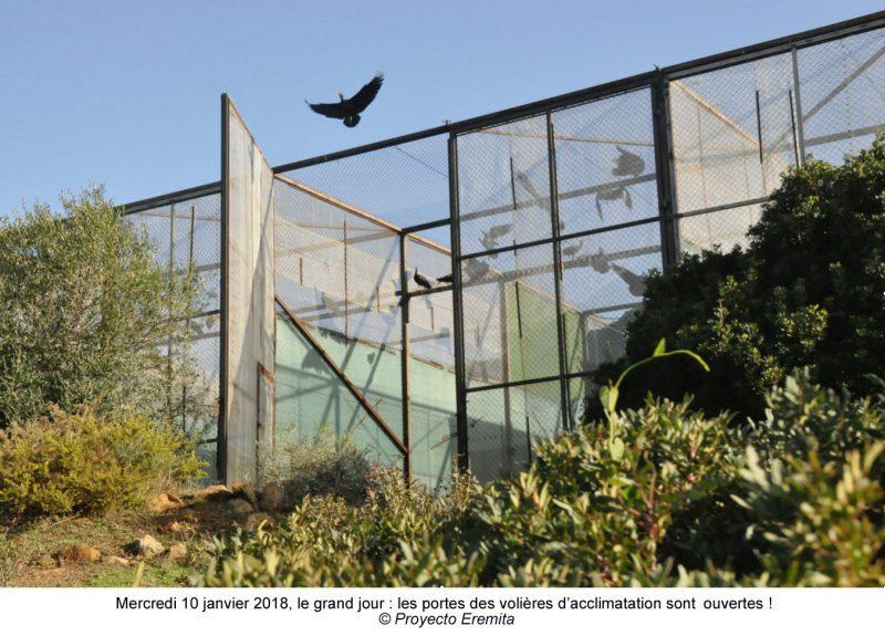 Ibis eremita relachés en Andalousie