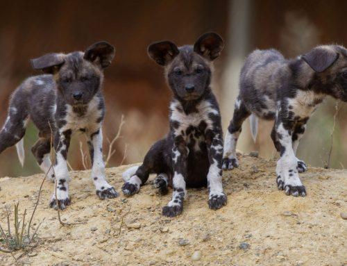 Trois petits Lycaons nés à la Réserve Africaine de Sigean