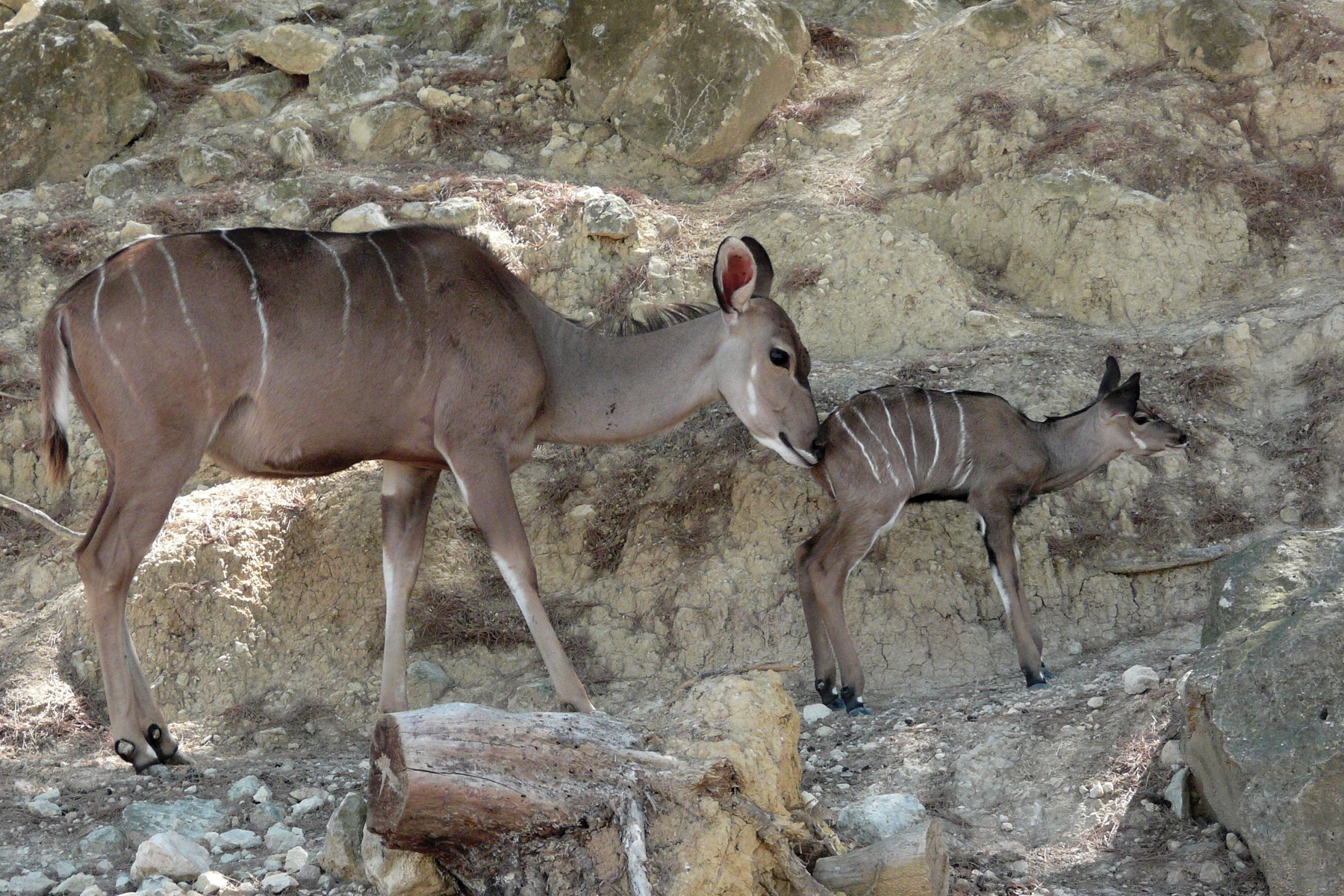 Greater kudu born at the Réserve Africaine de Sigean
