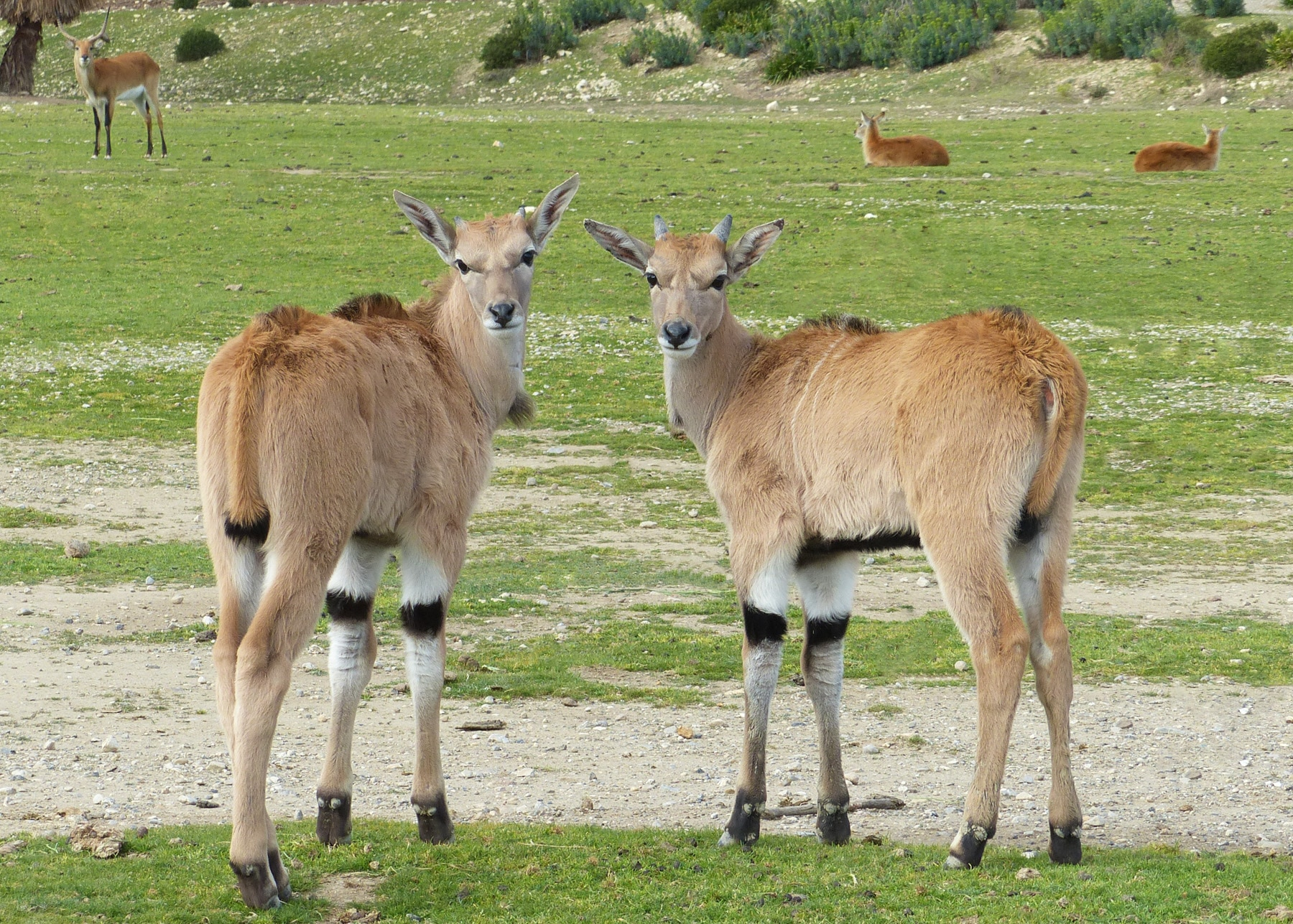 Cape Elands born at la Réserve Africaine de Sigean