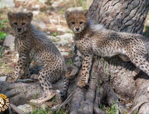Nouvelle famille de Guépards à Sigean