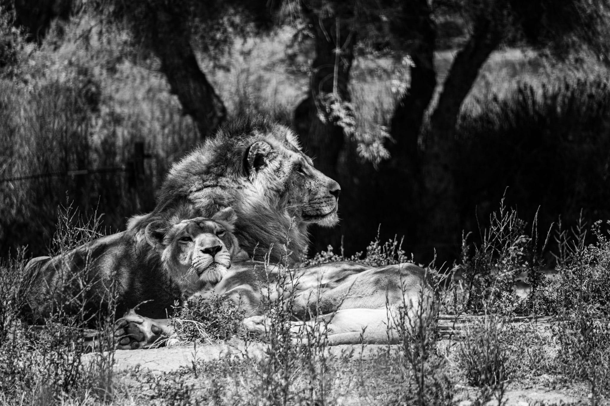 2ème prix CONCOURS PHOTO 2020 ADULTE : Estelle LOZANO-ZANCHETTA - Lions