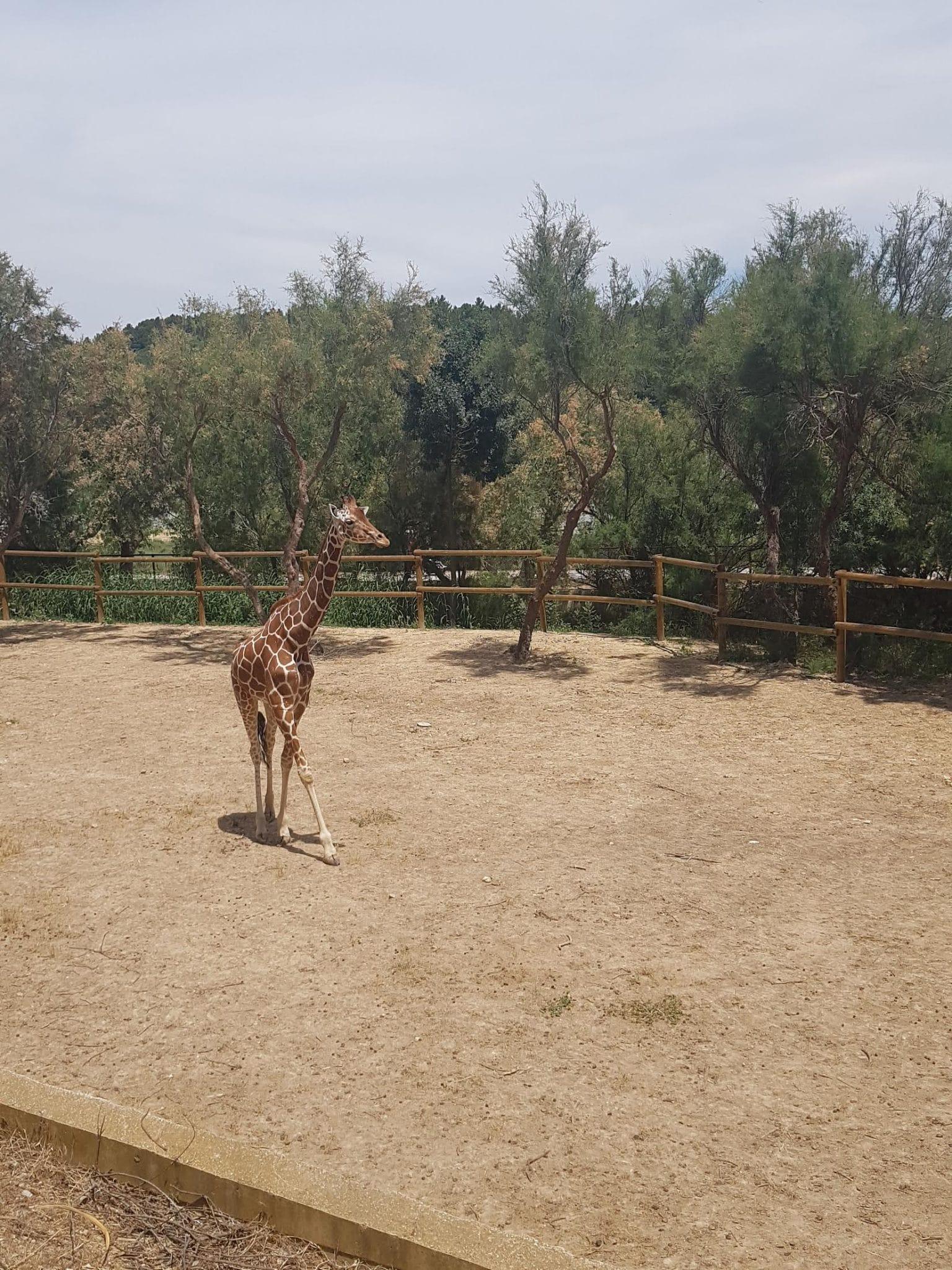 CONCOURS PHOTO 2020 ENFANT Ambre GAUTRON (6 ans) – Girafe réticulée
